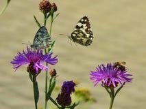 Zwei swallowtail Schmetterlinge und eine Biene Stockbild