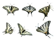 Zwei Swallowtails Lizenzfreies Stockbild