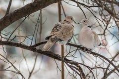 Zwei Tauben Stockfoto
