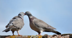 Zwei Tauben Lizenzfreie Stockfotos