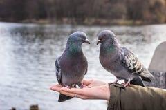 Zwei Tauben auf der Hand Stockfoto
