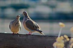 Zwei Tauben auf einem Zaun lizenzfreie stockfotos
