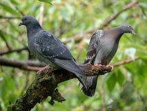 Zwei Tauben auf einer Niederlassung stockfotografie