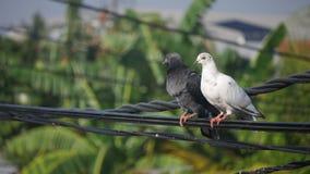 Zwei Tauben auf einer Stromleitung Stockfotos