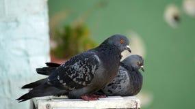 Zwei Tauben, die auf meinem Fenster stillstehen Lizenzfreie Stockfotos