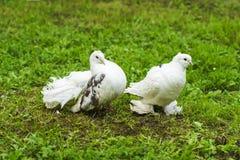 Zwei Tauben Frieden und Liebe Lizenzfreie Stockfotografie