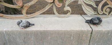 Zwei Tauben St Petersburg Lizenzfreie Stockfotos