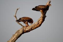 Zwei Tawny Eagles Kruger Park South Afrika Stockfotografie