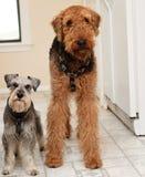 Zwei Terrierhunde, die mit dummen Ausdrücken stehen stockbilder