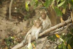 Zwei thailändische Affen Lizenzfreies Stockfoto