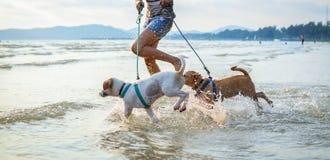 Zwei thailändische Hunde, die auf dem Strand spielen Stockbilder