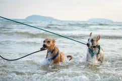 Zwei thailändische Hunde, die auf dem Strand spielen Stockbild