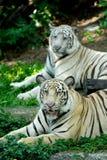 Zwei Tiger Lizenzfreie Stockfotos