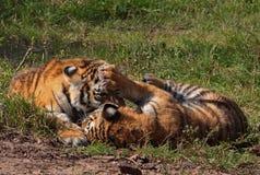 Zwei Tigerjunge Lizenzfreies Stockfoto