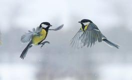 Zwei titmouses, die in Richtung zu einander in Winter Park fliegen Lizenzfreie Stockbilder