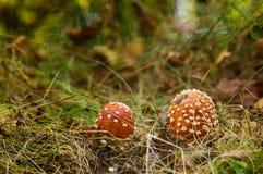 Zwei Toadstools im Wald Stockfotos
