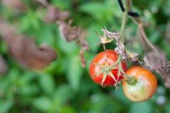 Zwei Tomaten Lizenzfreies Stockfoto