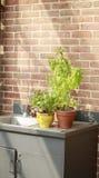 Zwei Topfpflanzen, die auf einer Metallwanne mit Backsteinmauer im Hintergrund sitzen Stockbilder