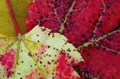 Zwei tote Blätter stockbilder