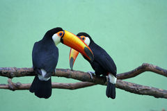 Zwei Toucans Stockfotos