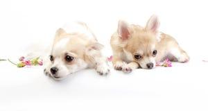 Zwei träumerische Chihuahuahunde Stockfotos