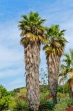 Zwei trachycarpus wagnerianus Palmen auf einem blauen Himmel, Barcelona, Spanien Stockbild