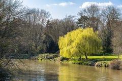 Zwei Trauerweidebäume, die in Blatt im Frühjahr auf den Banken des Flusses Stour in Aylesford bersten lizenzfreies stockbild