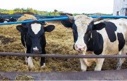 Zwei traurige Stiere auf dem Bauernhof lizenzfreie stockfotos