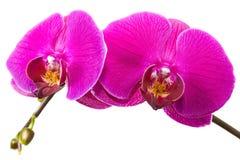 Zwei trennten Fuchsie farbige Orchideeblumen. Lizenzfreie Stockbilder