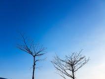 Zwei trocken/ohne Blattbäume mit Hintergrund des blauen Himmels Stockfoto