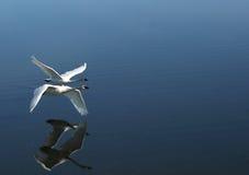 Zwei Trompeterschwäne, die vorbei fliegen Stockfotos
