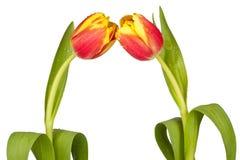 Zwei Tulpen Stockfoto