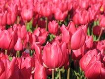 Zwei Tulpen Stockfotos
