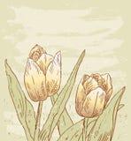Zwei Tulpen Lizenzfreies Stockfoto