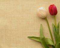 Zwei Tulpen Stockbild