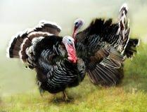 Zwei turkeis im Tanz Lizenzfreies Stockbild