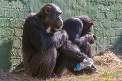 Zwei unglückliche Schimpansen mit leerer Plastikflasche Lizenzfreie Stockfotografie