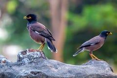 Zwei Vögel allgemeines myna oder Acridotheres tristis Stockfotos