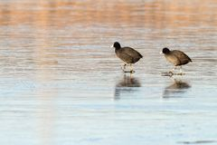 Zwei Vögel auf Eis Stockbild