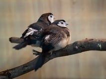 Zwei Vögel, die auf dem Baumast sitzen Tier, Vogel, Liebe, Familien-Konzept stockfotografie