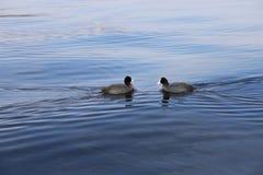 Zwei Vögel, die miteinander schwimmen Stockfotos