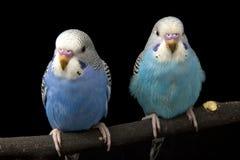 Zwei Vögel sind auf einem schwarzen Hintergrund Lizenzfreie Stockfotos