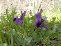 Zwei Veilchen im Gras, Nahaufnahme Lizenzfreie Stockfotos