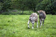Zwei verärgerte Kühe Stockfoto