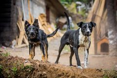 Zwei verärgerte Schutzhunde Lizenzfreie Stockfotografie