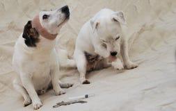 Zwei verletzte Hunde Stockfotos