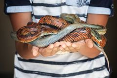 Zwei verschiedene farbige Maisschlangen in child's Händen lizenzfreie stockfotos