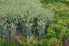 Zwei verschiedene Felder Weizen, turbulenter Wind Stockbild