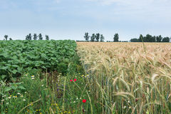 Zwei verschiedene Kulturen, Weizen und Sonnenblumen, die gleiche Hoffnung für Stockfotografie