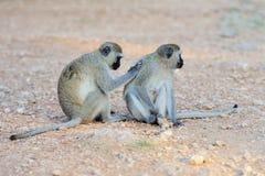 Zwei Vervet Affe Stockfotos